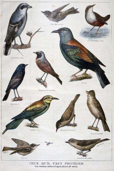 Birds That are Protected, and Helpful in Agriculture, 1897-F Meaulle-Giclee Print