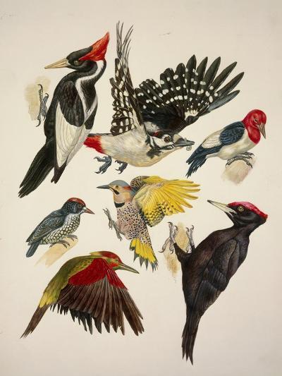 Birds, Variety of Piciformes--Giclee Print