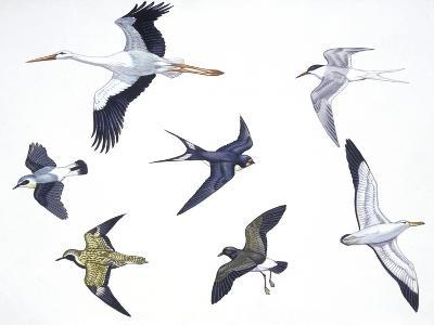 Birds: White Stork (Ciconiiformes--Giclee Print