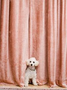 Poodle Looking from Behind Curtain by Birgid Allig