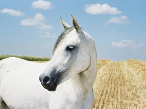 White Horse on Stubble Field by Birgid Allig