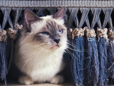 Birman Cat Amongst Tassles under Furniture-Adriano Bacchella-Photographic Print