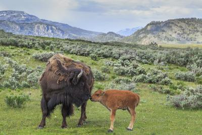 Bison and Calf (YNP)-Galloimages Online-Photographic Print