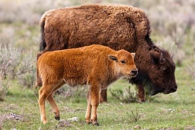 https://imgc.artprintimages.com/img/print/bison-and-calf_u-l-q1gqcsz0.jpg?p=0