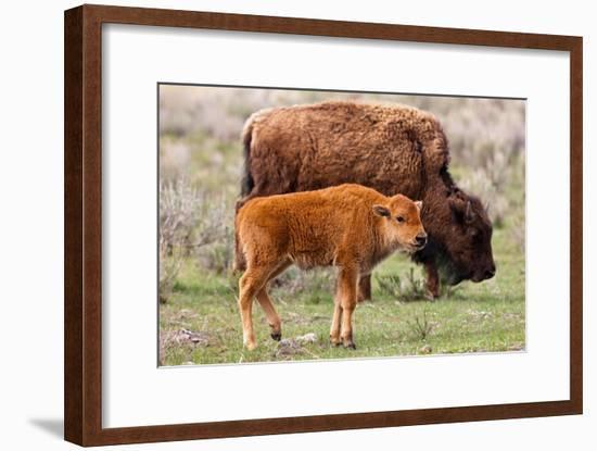 Bison and Calf-Lantern Press-Framed Art Print