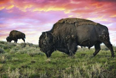 Bison and Sunset-Lantern Press-Wall Mural