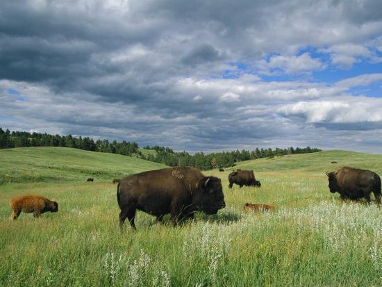 Bison and Their Calves Graze in Custer State Park-Annie Griffiths Belt-Photographic Print