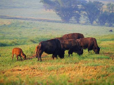 Bison at Neil Smith National Wildlife Refuge, Iowa, USA-Chuck Haney-Photographic Print