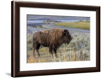 Bison at Yellowstone River, Yellowstone National Park, Wyoming, USA-Tom Norring-Framed Photographic Print