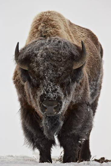 Bison (Bison Bison) Bull Covered with Frost in the Winter-James Hager-Photographic Print