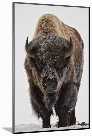 Bison (Bison Bison) Bull Covered with Frost in the Winter-James Hager-Mounted Photographic Print