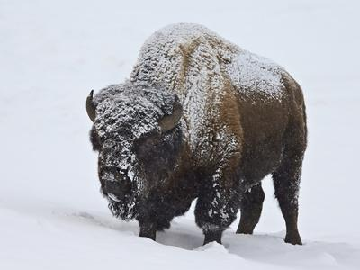 https://imgc.artprintimages.com/img/print/bison-bison-bison-bull-covered-with-snow-in-the-winter_u-l-psxwp70.jpg?p=0