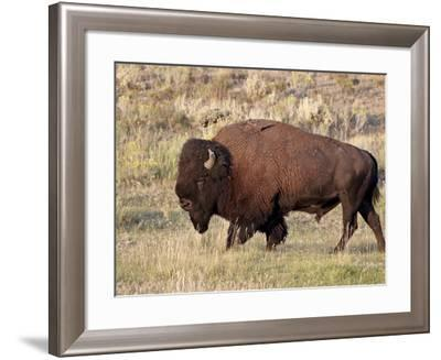Bison (Bison Bison) Bull, Yellowstone National Park, Wyoming, USA, North America-James Hager-Framed Photographic Print