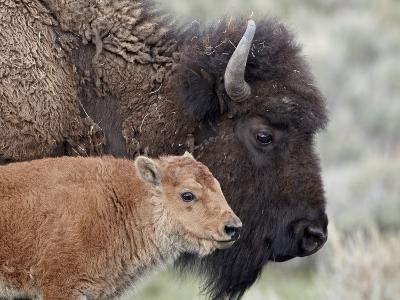 Bison (Bison Bison) Calf in Front of its Mother, Yellowstone National Park, Wyoming, USA-James Hager-Photographic Print