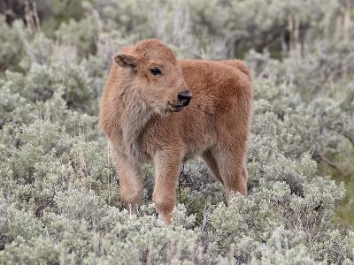 Bison (Bison Bison) Calf, Yellowstone National Park, Wyoming, USA, North America-James Hager-Photographic Print