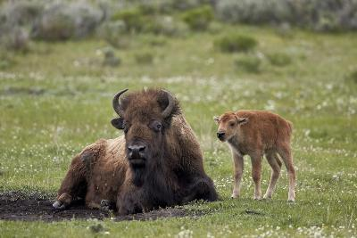 Bison (Bison Bison) Cow and Calf, Yellowstone National Park, Wyoming, United States of America-James Hager-Photographic Print
