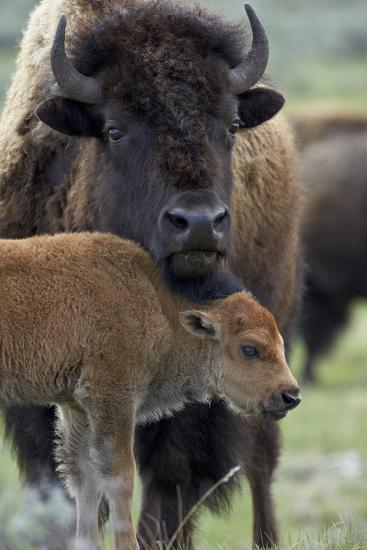 Bison (Bison Bison) Cow and Calf-James Hager-Photographic Print