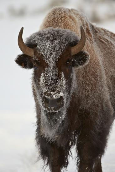 Bison (Bison Bison) Cow in the Winter-James Hager-Photographic Print