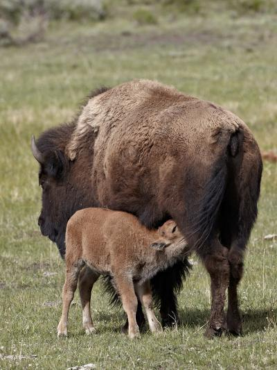 Bison (Bison Bison) Cow Nursing Her Calf, Yellowstone National Park, Wyoming, USA, North America-James Hager-Photographic Print