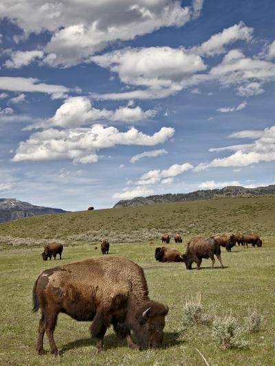 Bison (Bison Bison) Cows Grazing, Yellowstone Nat'l Park, UNESCO World Heritage Site, Wyoming, USA-James Hager-Photographic Print