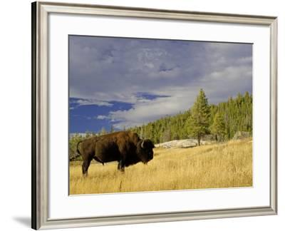 Bison (Bison Bison) Yellowstone National Park, Wyoming, USA-Rolf Nussbaumer-Framed Photographic Print