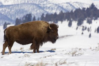 Bison Bison-Rob Tilley-Photographic Print
