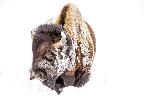 Bison Bull Foraging in Deep Snow in Yellowstone NP, WYoming, Usa-Chuck Haney-Photographic Print