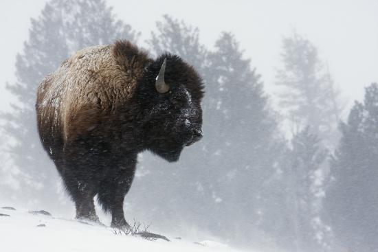Bison Bull, Winter Storm-Ken Archer-Photographic Print