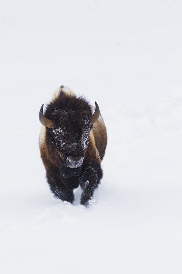 Bison Bull-Ken Archer-Photographic Print