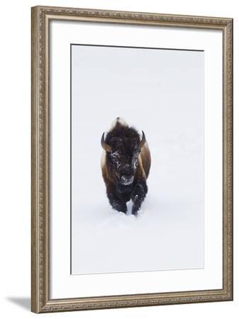 Bison Bull-Ken Archer-Framed Photographic Print