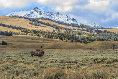 Bison by Electric Peak (YNP)-Galloimages Online-Photographic Print