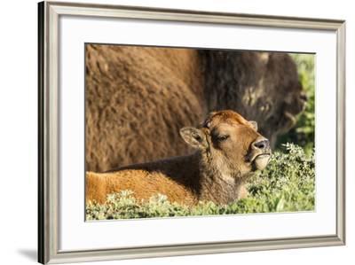 Bison Calf in Theodore Roosevelt National Park, North Dakota, Usa-Chuck Haney-Framed Photographic Print