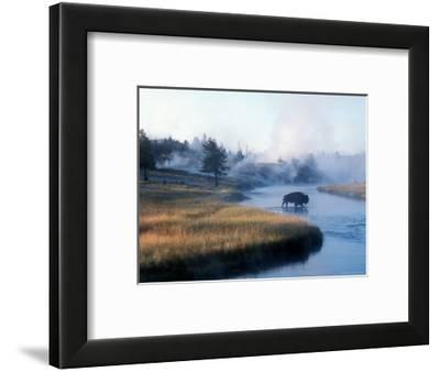 Bison Crosses the Firehole River Flowing Through Geyser Basins, Yellowstone-Michael S. Lewis-Framed Photographic Print