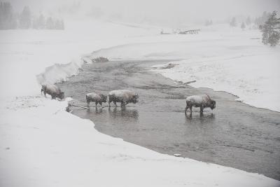 Bison Crossing the Firehole River in a Snowstorm-Tom Murphy-Photographic Print