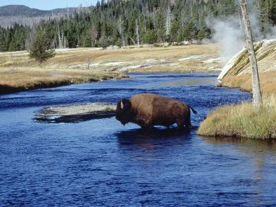 Bison Crossing the Firehole River, WY-Guy Crittenden-Photographic Print