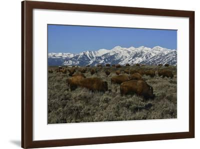 Bison Foraging in Spring-Raul Touzon-Framed Photographic Print
