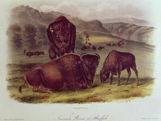 Bison from Quadrupeds of North America (1842-5)-John James Audubon-Giclee Print