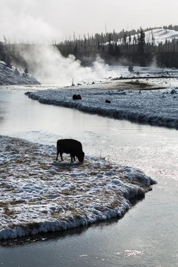 Bison Graze Along The Madison River In Yellowstone National Park In Winter-Ben Herndon-Photographic Print