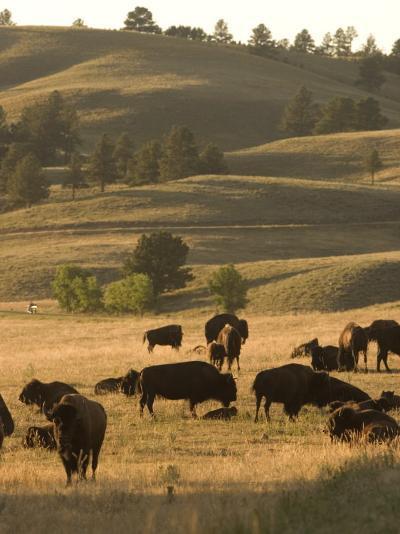 Bison Grazing in Custer State Park, South Dakota-Phil Schermeister-Photographic Print