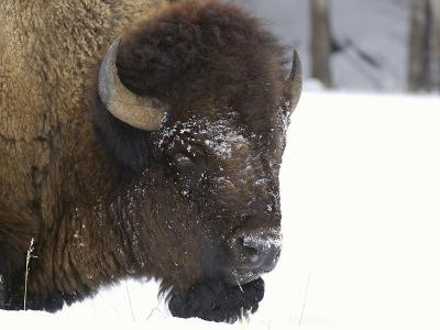 Bison Head (Bison Bison) in Snow, Yellowstone National Park, USA-Dave Watts-Photographic Print