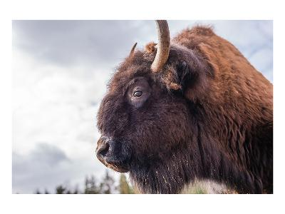 Bison Head With Cloudy Sky--Art Print