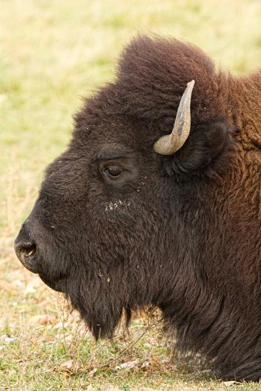 Bison Headshot Profile-Striking-Photography-Photographic Print