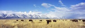 Bison Herd, Grand Teton National Park, Wyoming, USA