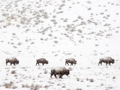 Bison in a Snow Storm-Mark Newman-Photographic Print