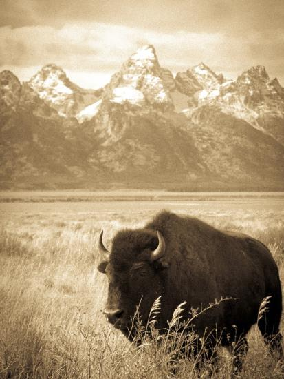 Bison in Grand Teton National Park Wyoming-Justin Bailie-Photographic Print