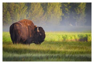 Bison in Morning Light-Sandipan Biswas-Art Print