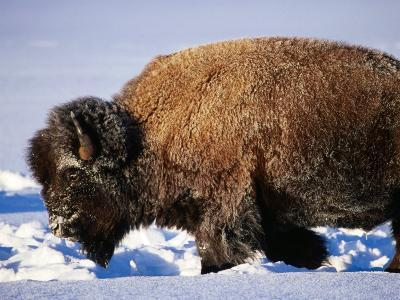 Bison in Snow, Yellowstone National Park, U.S.A.-Christer Fredriksson-Photographic Print