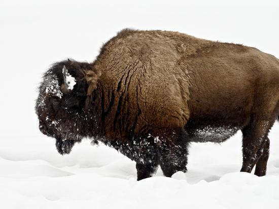 Bison in Snow, Yellowstone National Park, Wyoming--Photographic Print