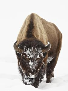 Bison in Snow, Yellowstone National Park, Wyoming