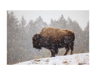 Bison in Snow-Jason Savage-Art Print